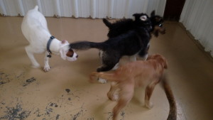 dogs playing tag at doggie day care