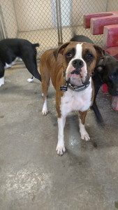 pet photo - boxer